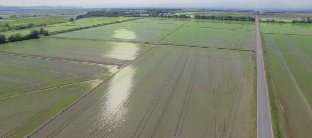 Crescita del riso nelle risaie